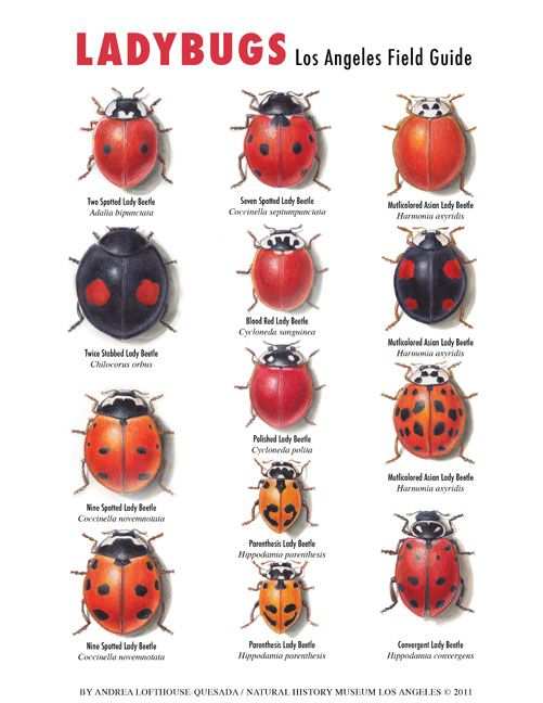 Difference between ladybugs and asian beetles